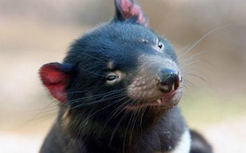 В молоке тасманийского дьявола нашли вещества, уничтожающие супербактерий