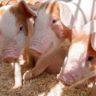 Ветеринары Зауралья продолжают работать в режиме повышенной готовности из-за чумы свиней