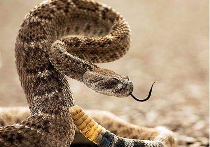 Соединение из яда гремучей змеи заменит антибиотики