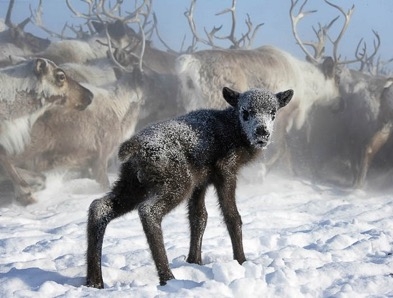 На Ямале более 650 тысяч оленей защитят от сибирской язвы