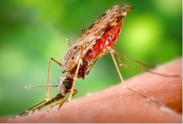 Исследователи уверены: универсальное средство против малярии найдено