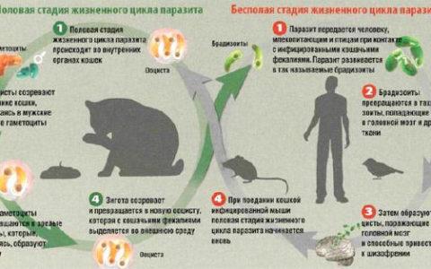 Заражение паразитами заставляет людей идти на риск